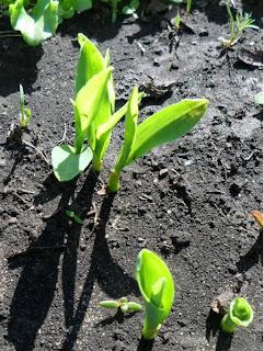31 мая, ростки кукурузы