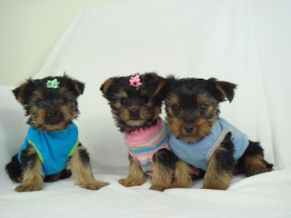 Yorkie Puppies Pictures