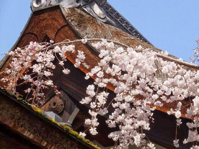門の屋根に降り注ぐ魁桜。