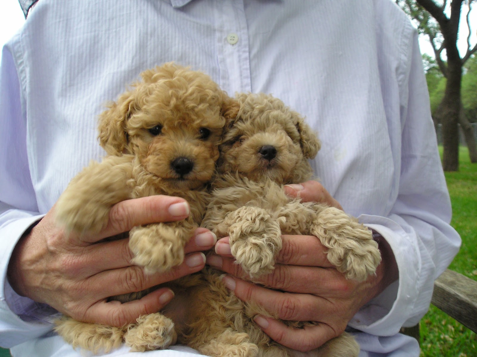 cute puppy dogs  poodle puppies