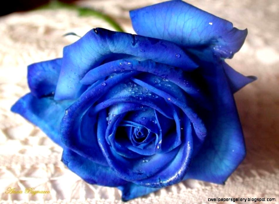 Beautiful Blue Rose Flowers for Valentine  Flower Meanings