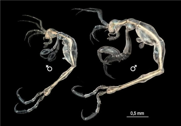 Креветка-скелет, Liropus minusculus
