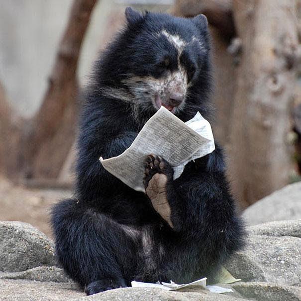 foto de osos leyendo su periodico