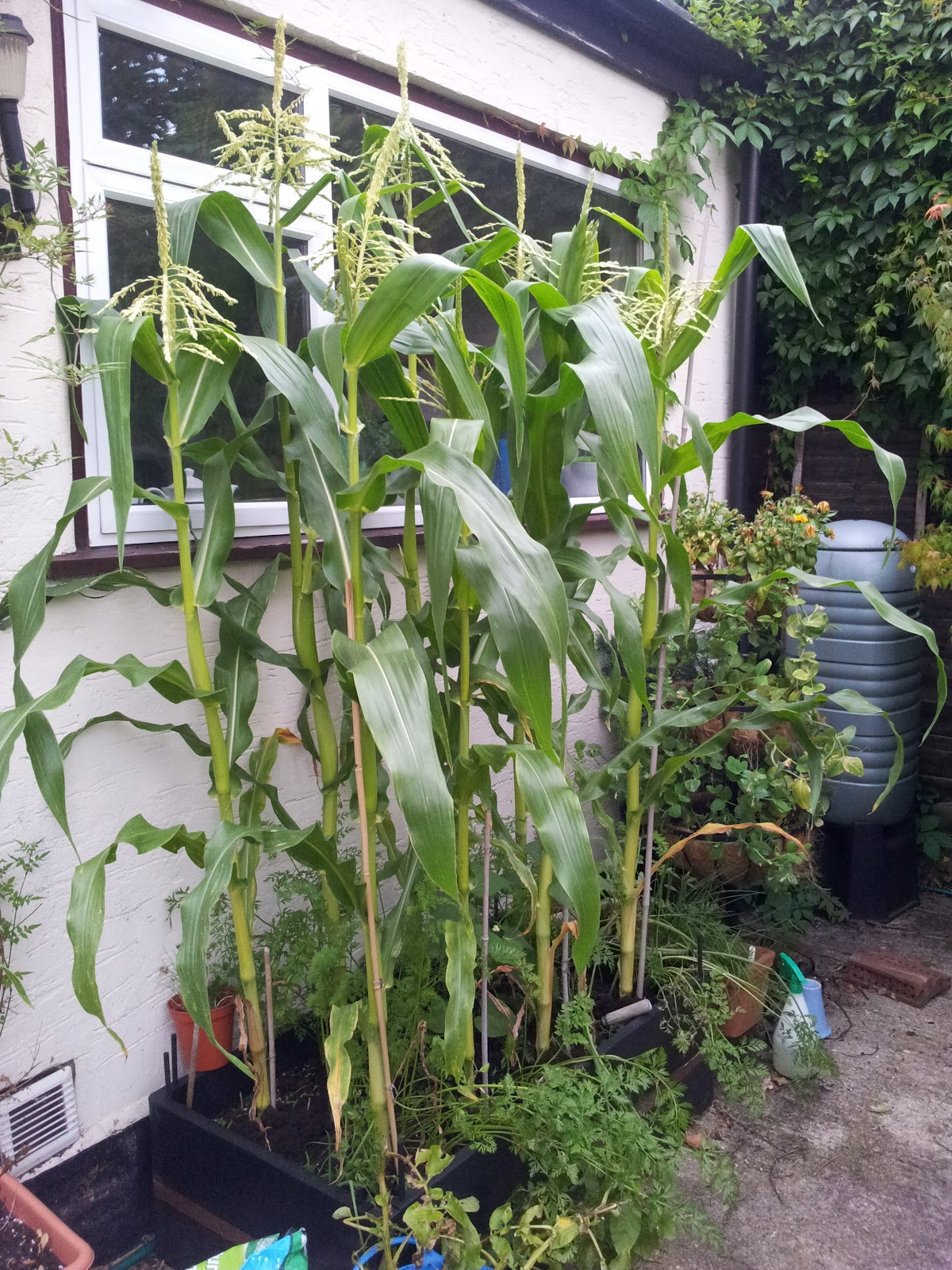 Mini Corn Plant : Mandy s munchies grow your own sweetcorn