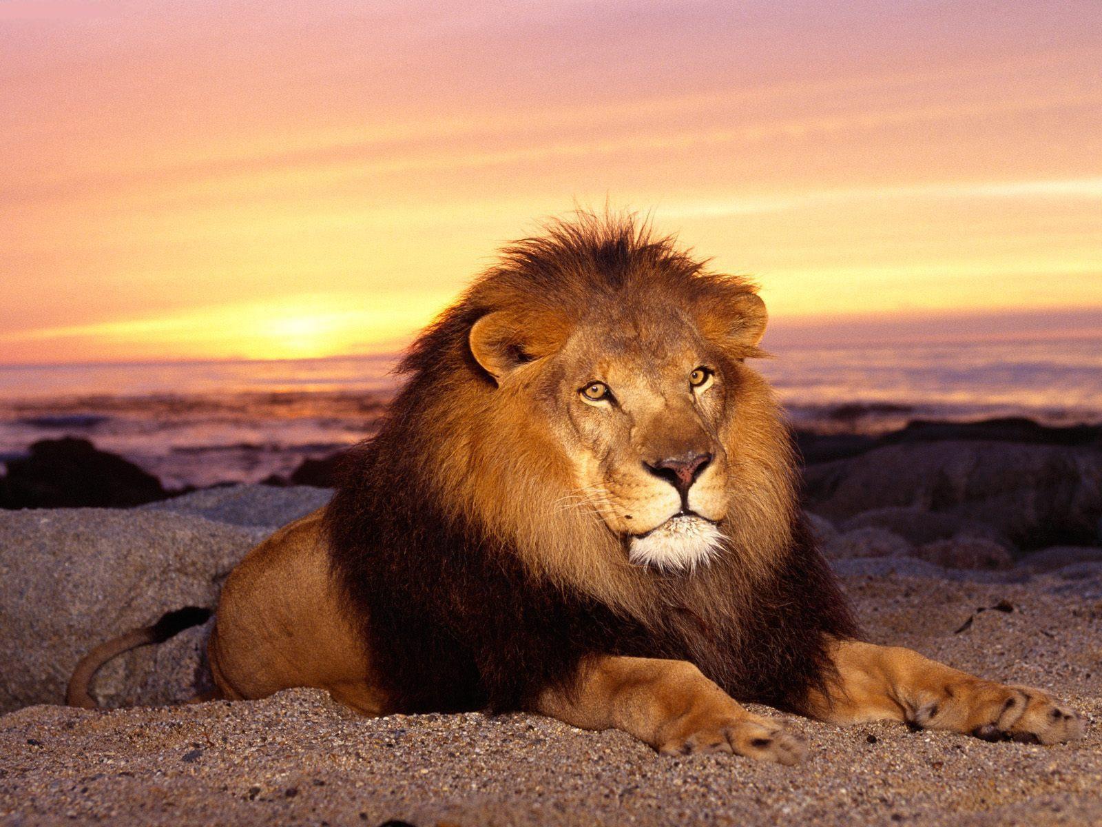 http://3.bp.blogspot.com/-HTTQUr9cEzg/T0pQwBWhohI/AAAAAAAANSQ/Jbqd4CKoczM/s1600/The-best-top-desktop-lion-wallpapers-hd-lion-wallpaper-1.jpeg