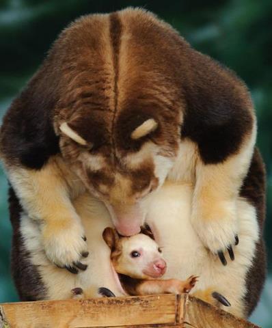 mama and baby kangaroo - photo #23