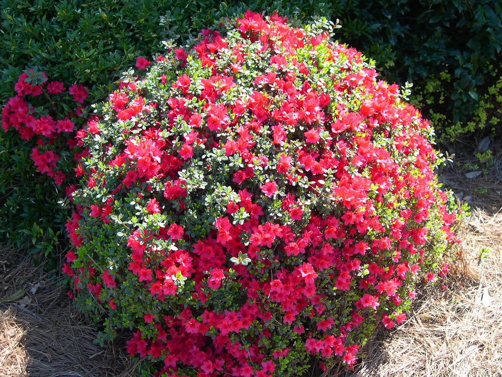Peces y plantas ornamentales azalea japonica azalea for Arbustos ornamentales de exterior