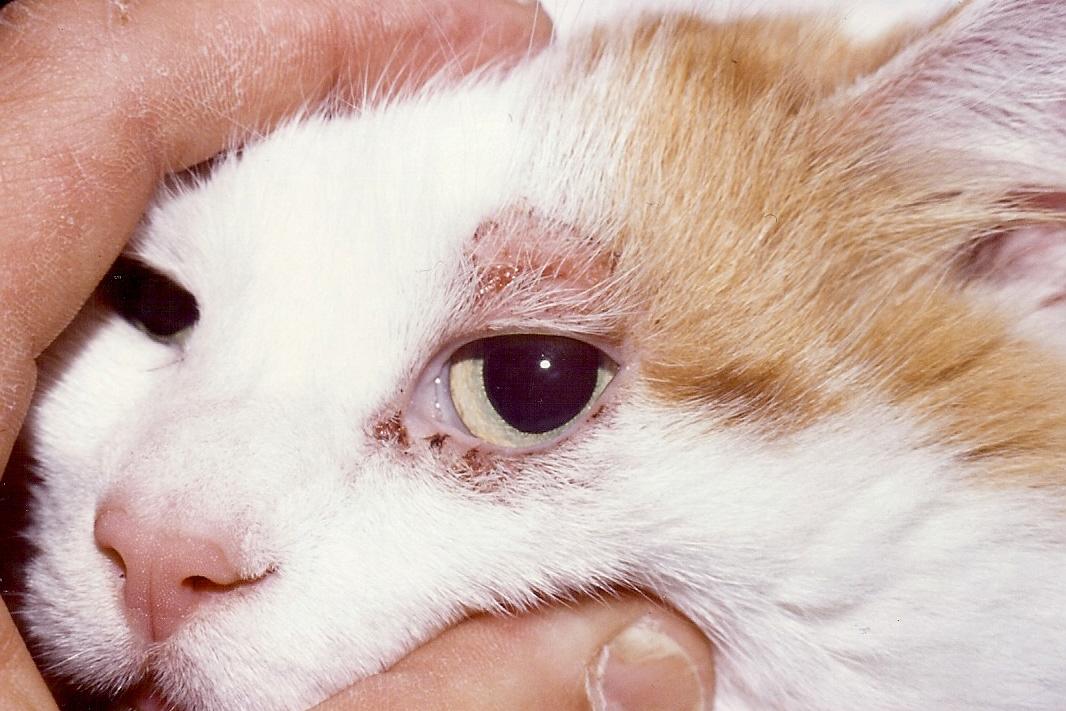 pulgas de gato santomas tratamiento tipos y mas