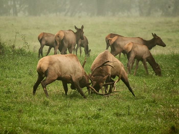 Bull Elk Fight in 2008