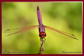 To my Dragonfly blog: AESHNATURE