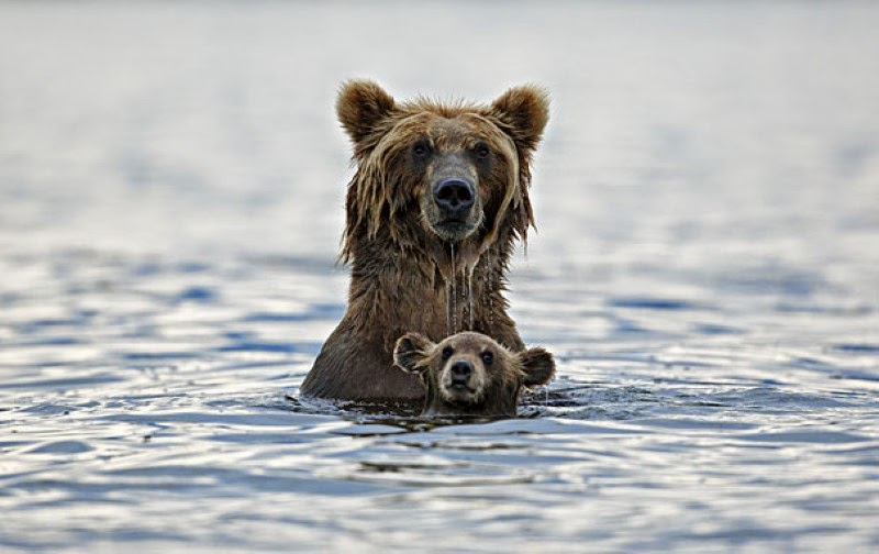 7. A bear taking a swim with her cub. - 30 Animals With Their Adorable Mini-Me Counterparts