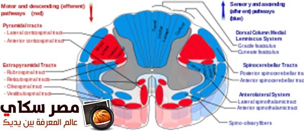 مما يتكون  الجهاز الحركى فى الإنسان Human locomotory system