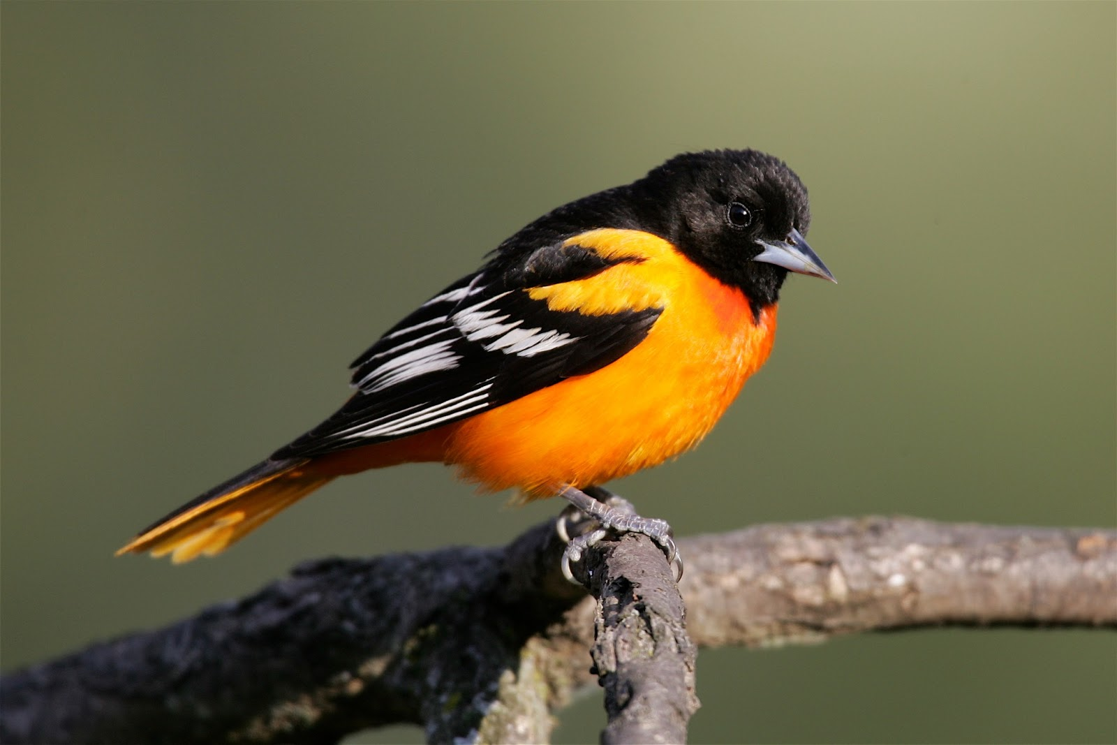 Most male baltimore oriole songs vary enough from one another
