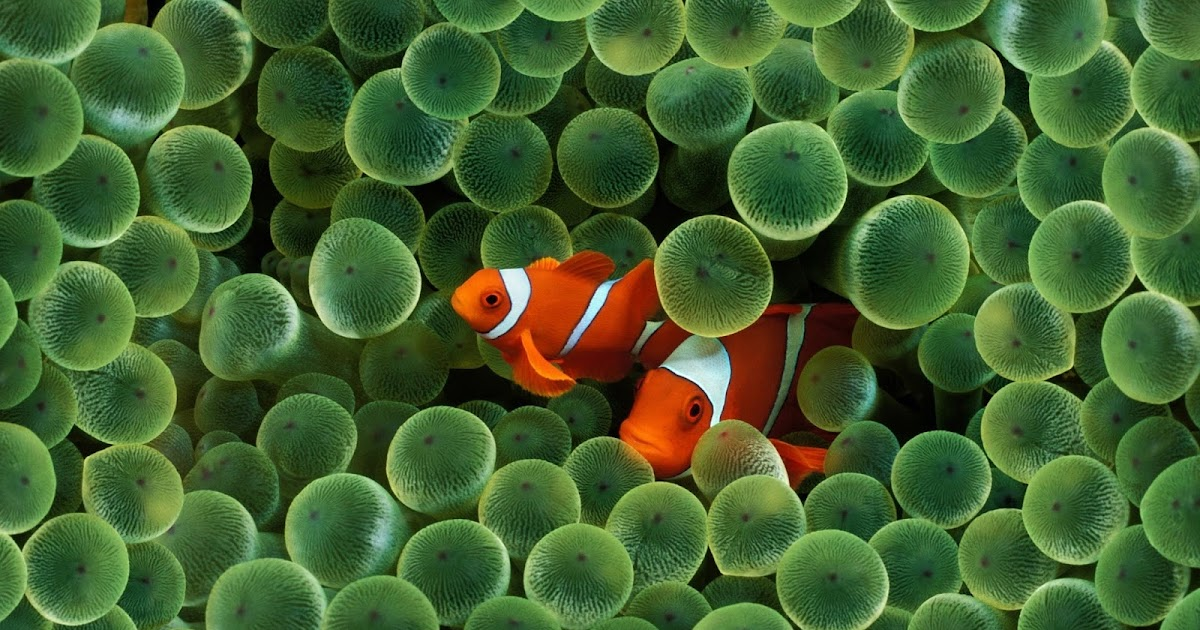 Themacmommy find the clownfish for Buy clown fish
