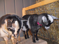 Two Nigerian Dwarf Goats looking the same direction