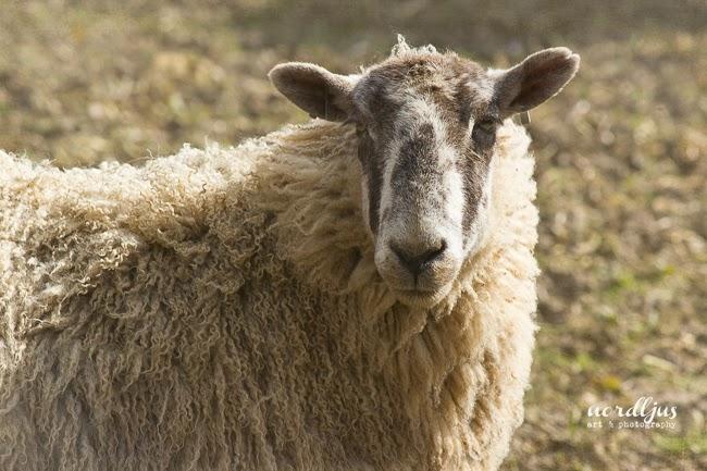 Nordljus Sheep