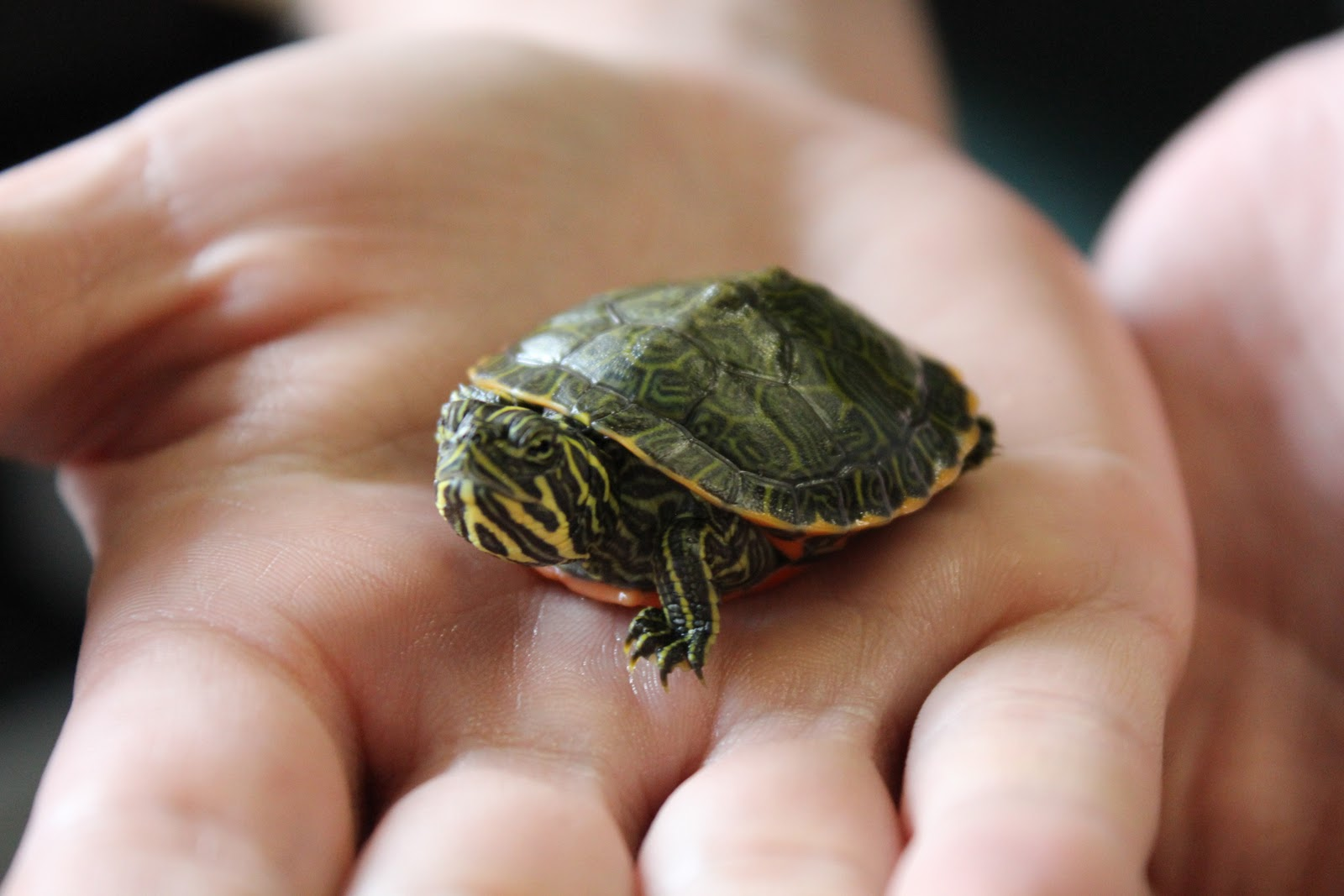 biologists that care for these turtles say they can tell the turtles ...