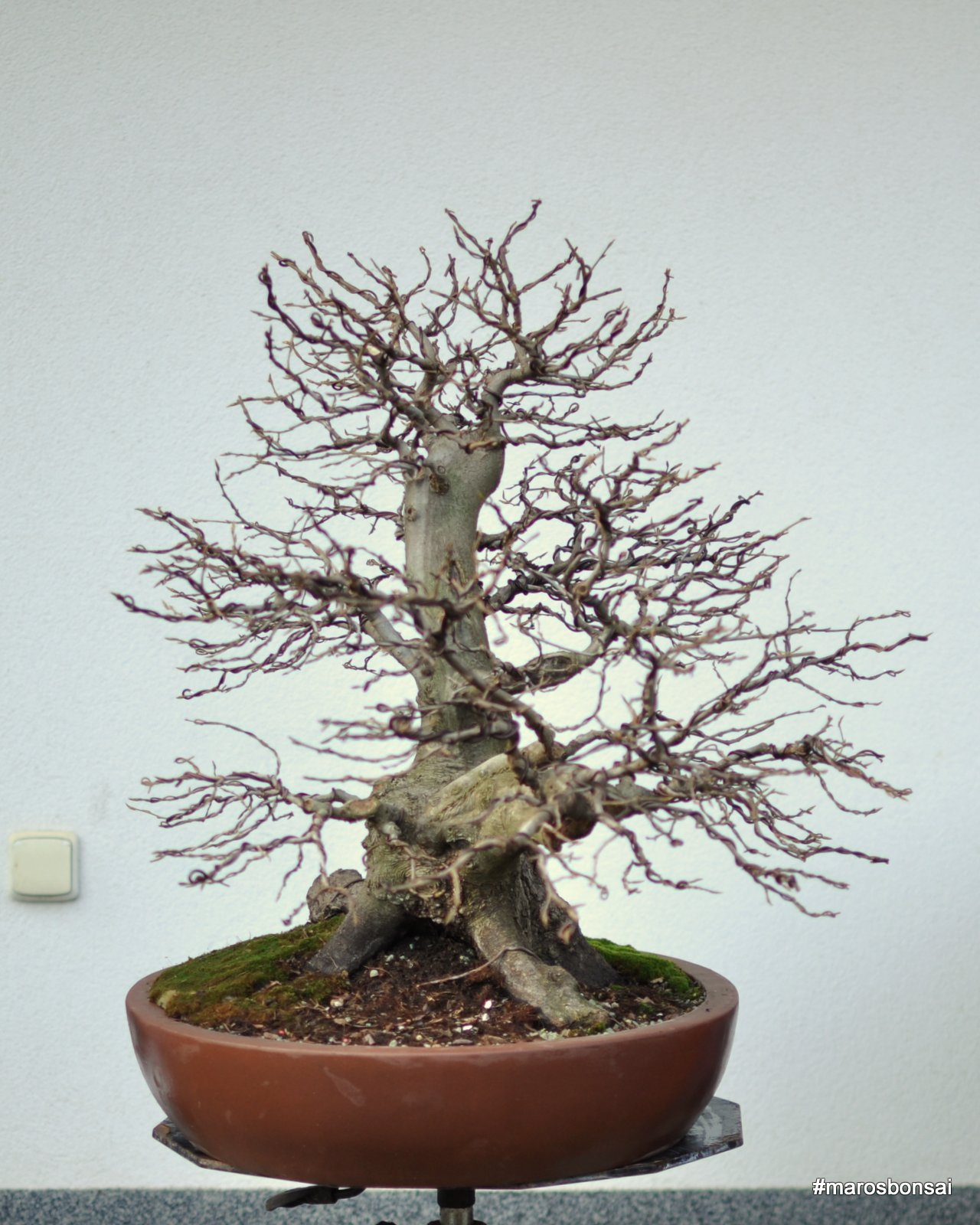 Maros Bonsai Blog Story Of My Bonsai Tree Hornbeam No11 QuotThe