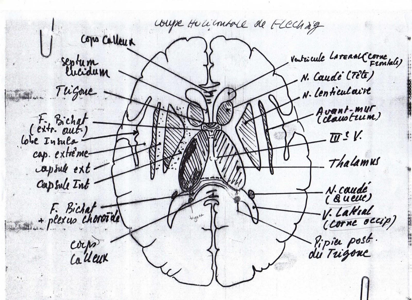 Neurologie Coupe De Flechsig