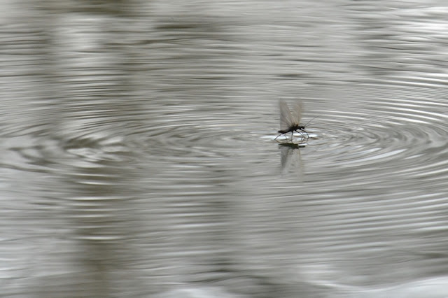 winter stonefly skimming across water's surface