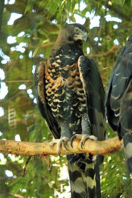 Águila Coronada Posada