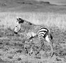 """Hartmann Berg-Zebra Baby """"Fritz"""""""