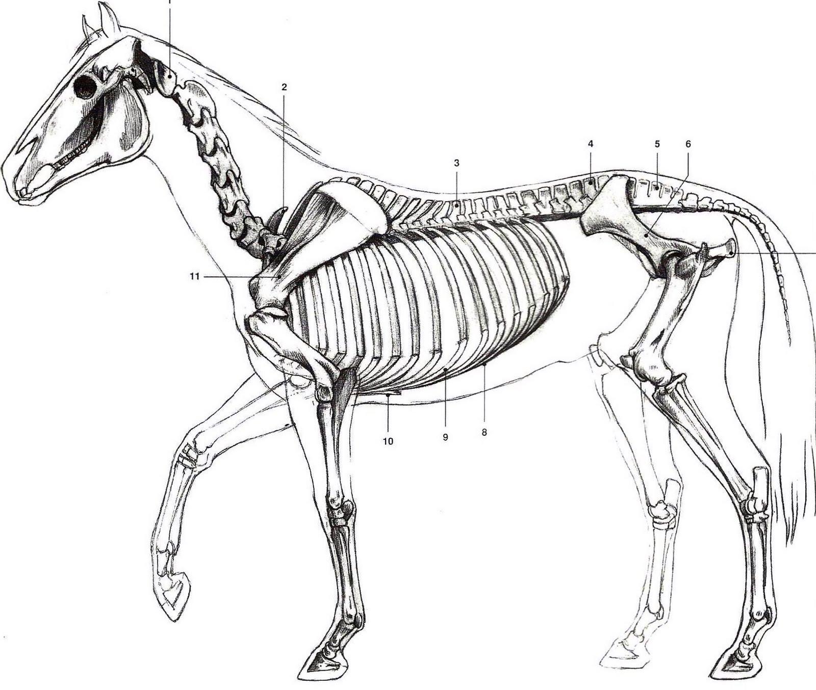 The Horse Anatomy Gallery - human body anatomy