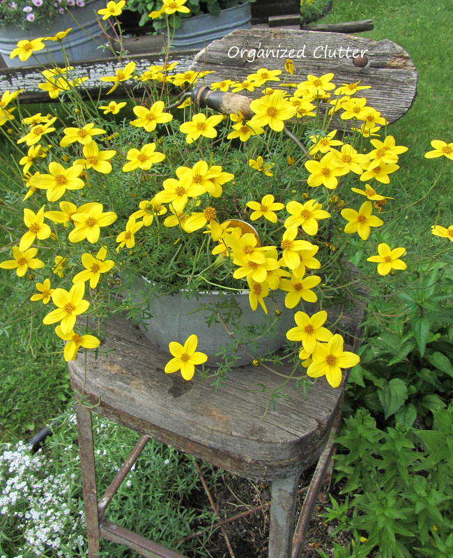 Weathered Stool with Pot of Bidens www.organizedclutterqueen.blogspot.com