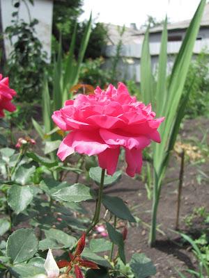 розы, розовая роза,  фото розы,