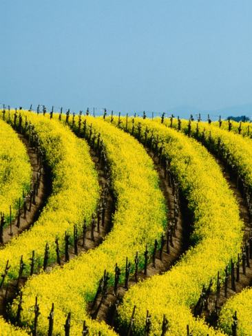 why do wine makers plant mustard seeds in young vineyards
