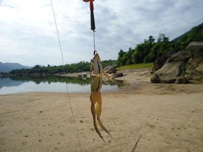 Chọn lưỡi câu cá lóc rất quan trọng