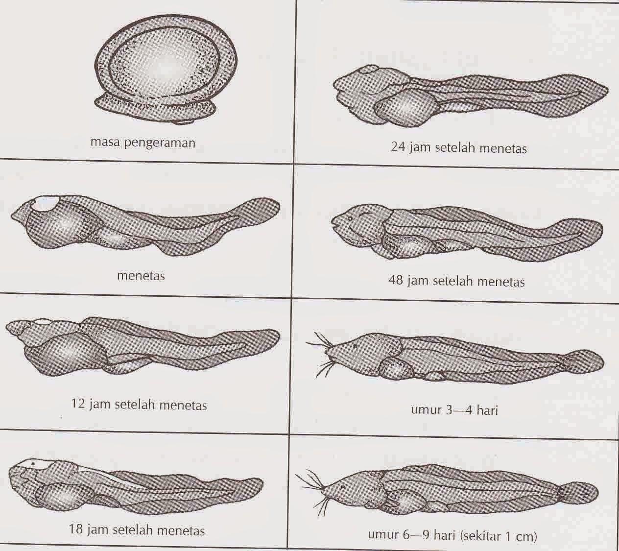 telur ikan lele, larva lele, burayak lele