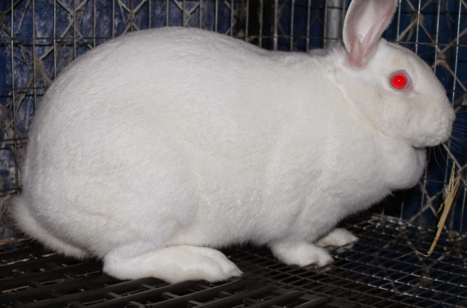How long does the pregnant rabbit go. How to determine whether a rabbit is pregnant