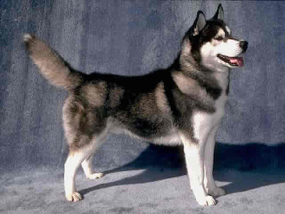 Husky Most Dangerous Dogs