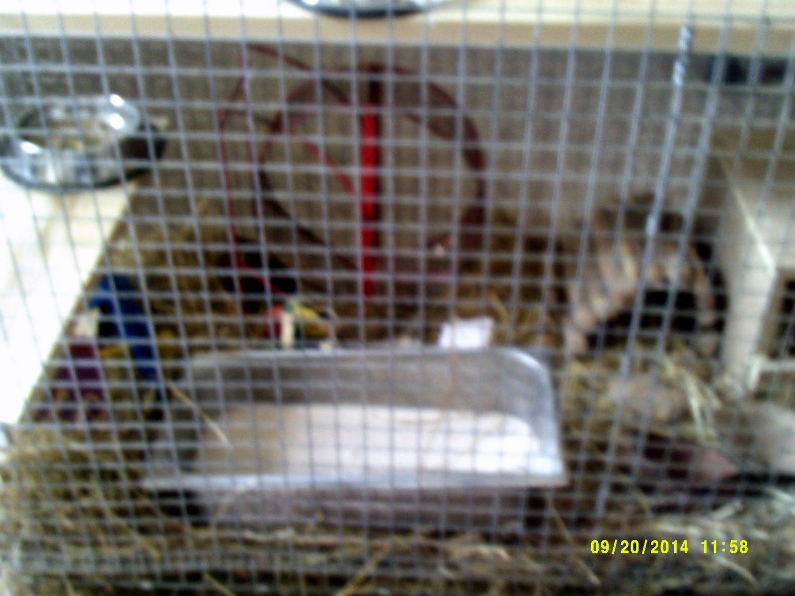 here u0027s the degus u0027 latest cage  zigler news  degu photos   november 14th 2014  fd  u0026 kinda lbe   rh   ziglernews blogspot