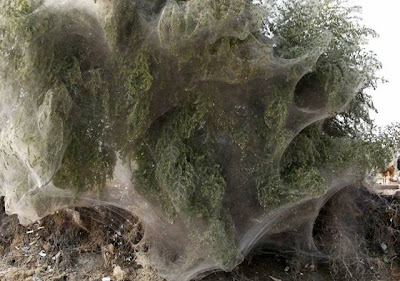 Trees Cocooned in Spiders Webs