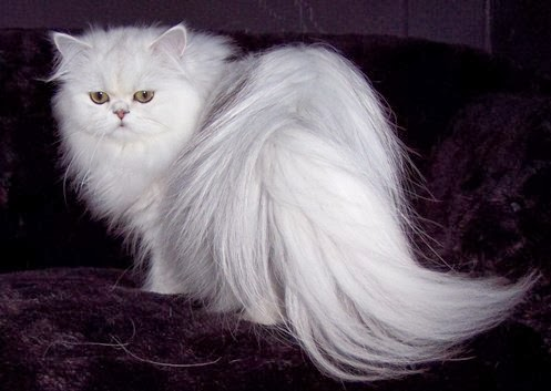 Persian (cat) | Passions For Life