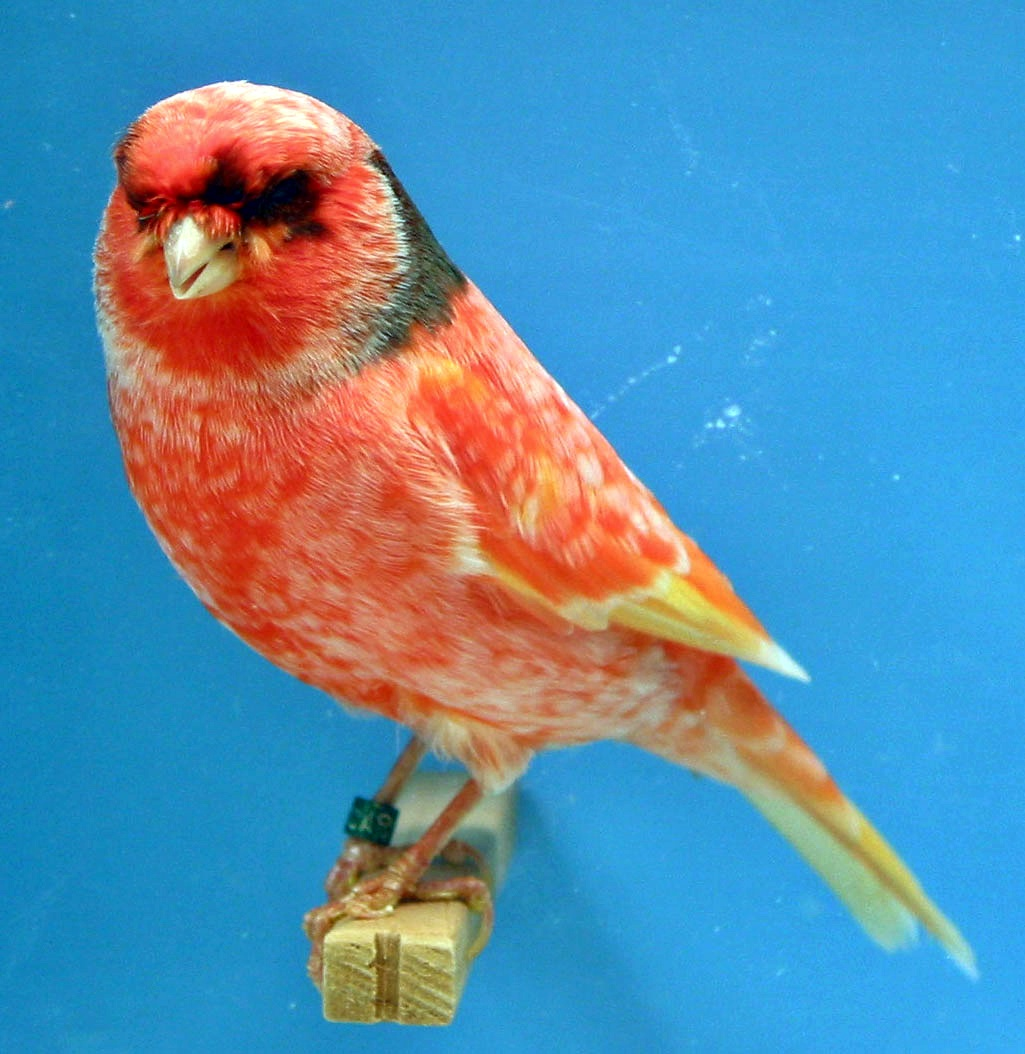 jenis kelamin kenari ciri kenari jantan burung kenari yaitu burung    Jenis Burung Kenari