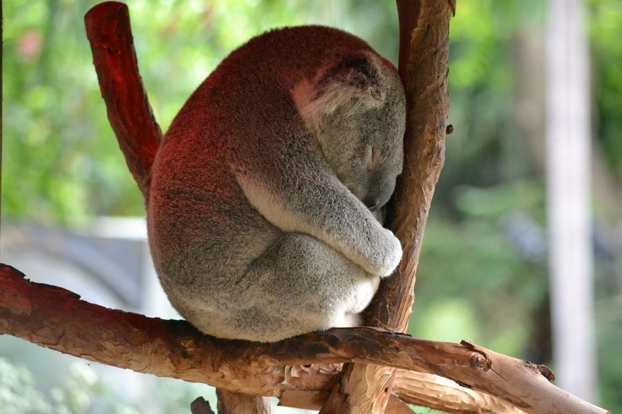 17. Koala Asleep by Liran Eisenberg