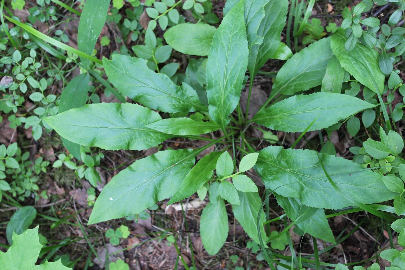 Suomalaiset rohdoskasvit