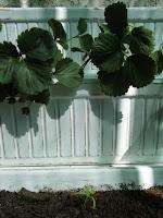 Espinafre à sombra do morangueiro