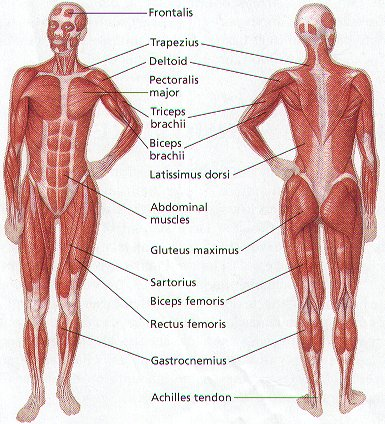 Human Muscles Diagram In German Zeicrosatun30s Soup