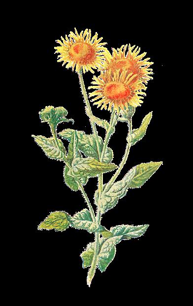 antique digital botanical