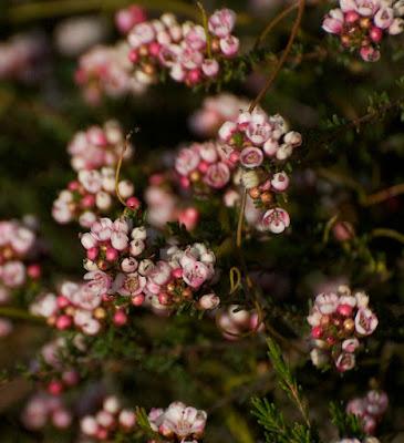 Large-flowreed Baeckea (Baeckea grandiflora)