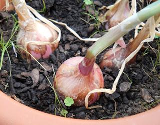 aclarado de las cebollas