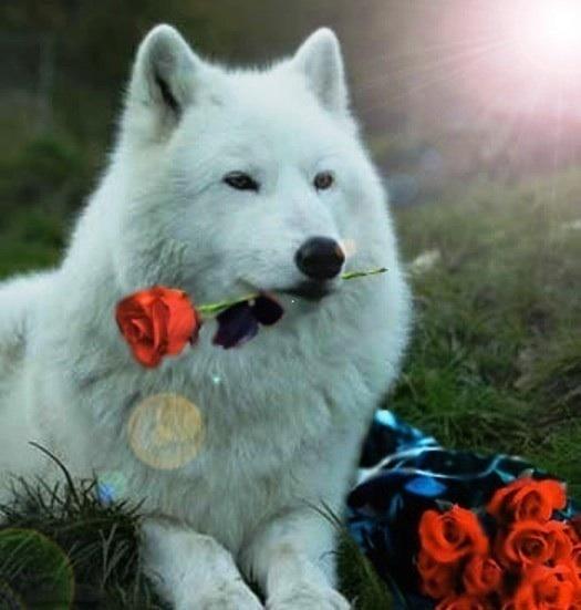 White Wolf wild animals