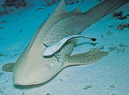 [Imagen: remora+pegada+a+tiburon.jpg]