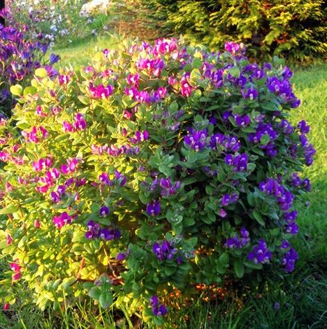 Pol gala mirtifolia o una bendici n de planta - Plantas perennes exterior ...
