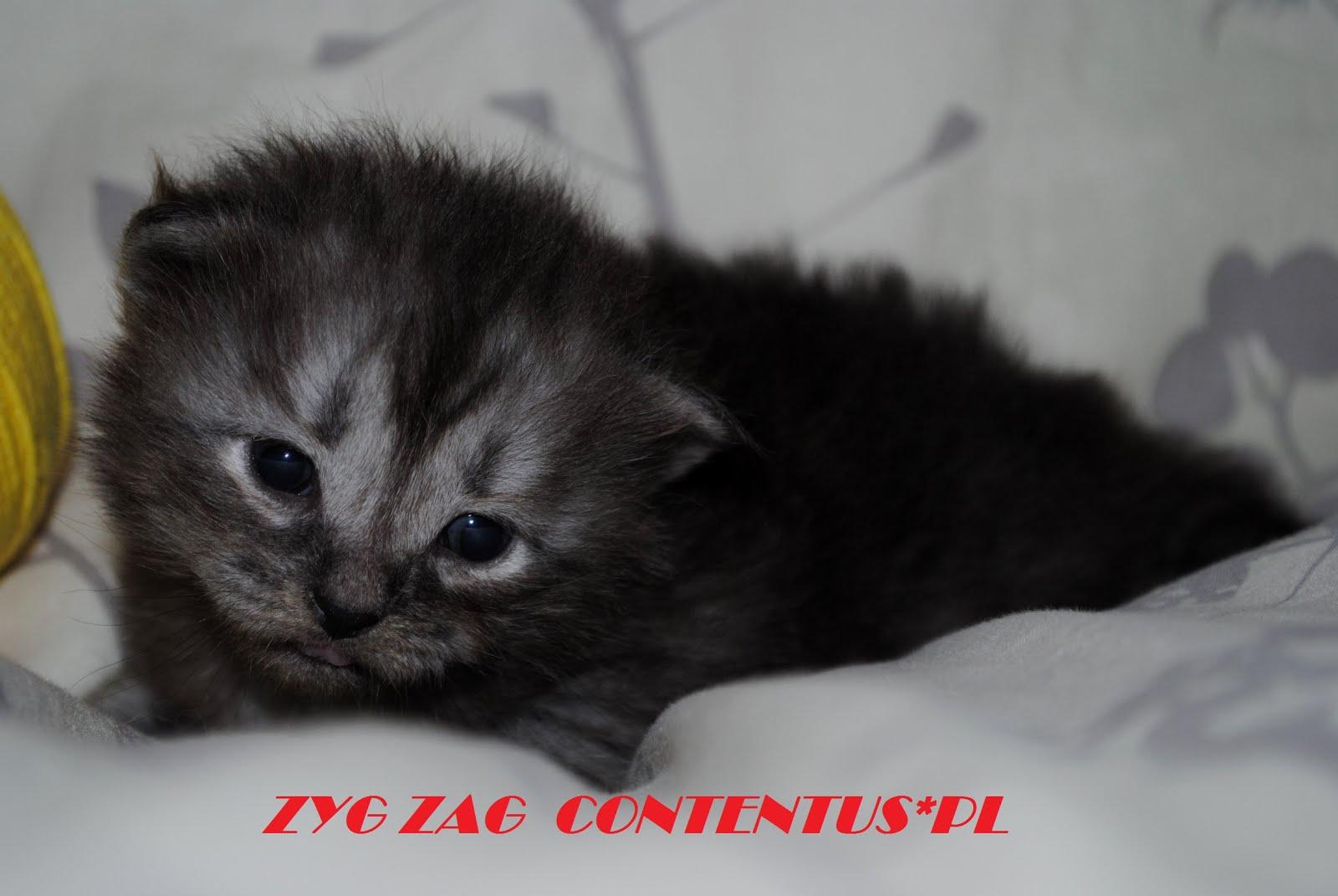 ZYG ZAG Contentus*PL