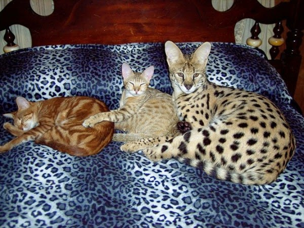 Bengal Cats For Sale Vancouver Island